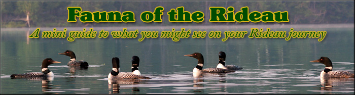 Fauna of the Rideau