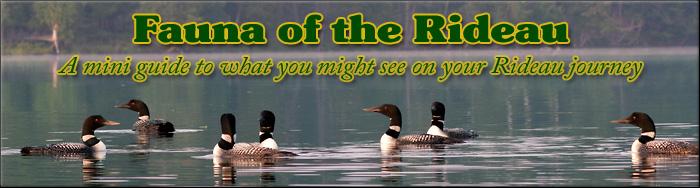 Fauna of the Rideau