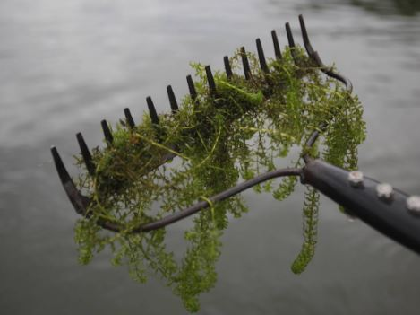 WEEDS IN UPPER RIDEAU LAKE