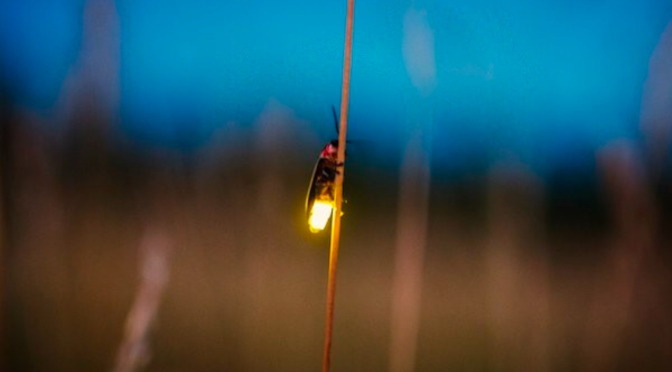 A flicker of hope in the insect world: Firefly, monarch butterfly numbers up, say Ont. researchers